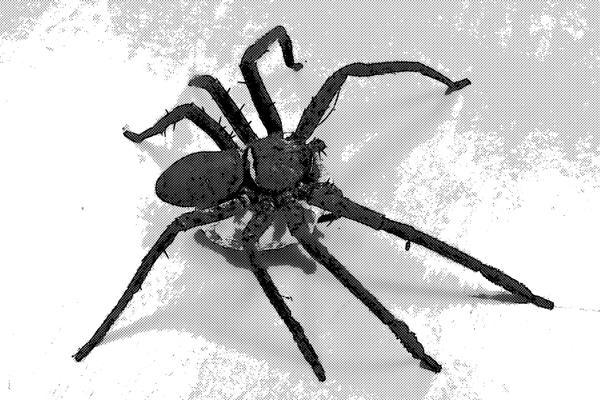 蜘蛛 アシダカグモ