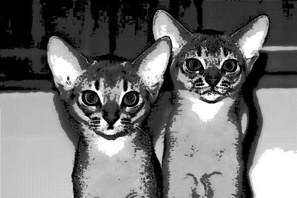 猫 アビシニアン